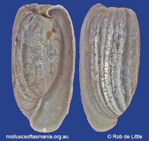 Notodiaphana sculpta