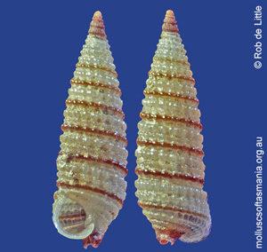 Nototriphora regina