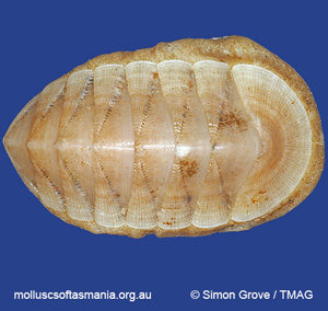 Loricella profundior