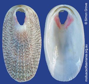 Macroschisma tasmaniae
