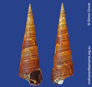 Maoricolpus roseus