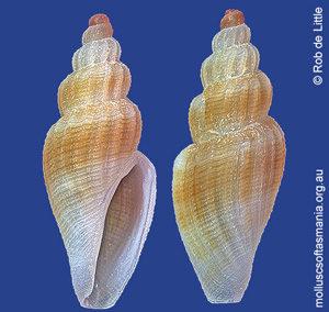 Marita schoutenensis
