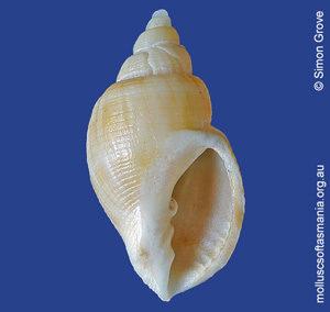 Merica purpuriformis