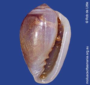 Mesoginella caducocincta