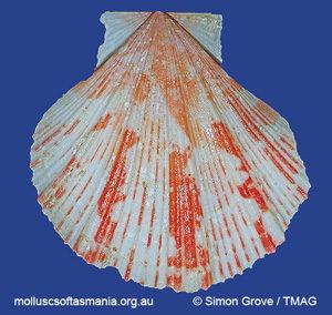 Mesopeplum fenestratum