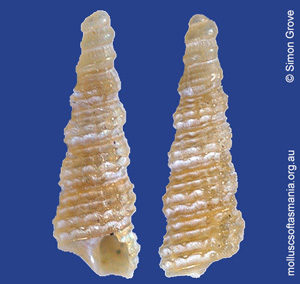 Metaxia protolineata