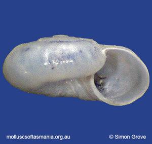 Microdiscula charopa