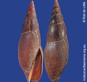 Isara carbonaria