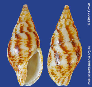 Mitrella leucostoma