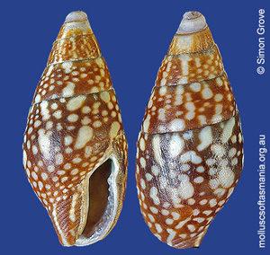 Mitrella lincolnensis