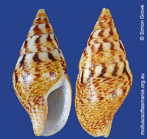 Mitrella semiconvexa