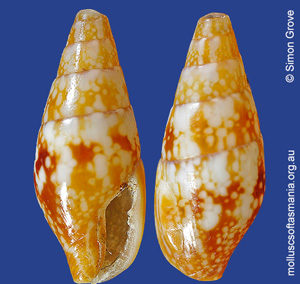 Mitrella tayloriana