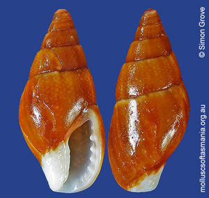 Mitrella tenuis