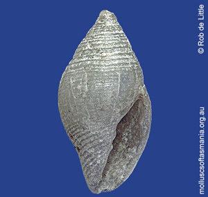 Mitromorpha alba