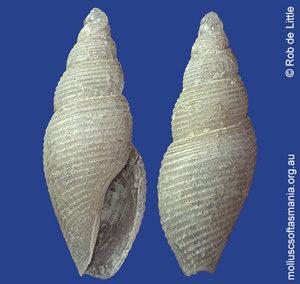 Mitromorpha angusta
