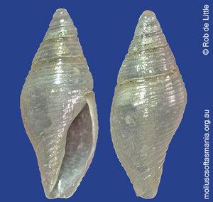 Mitromorpha columnaria