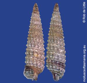 Hedleytriphora fasciata