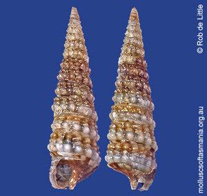 Hedleytriphora scitula