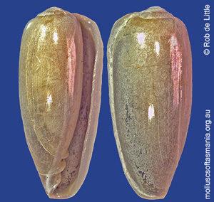 Hydroginella columnaria