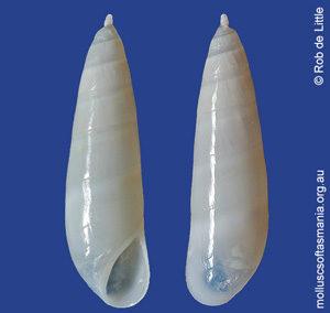Hypermastus mucronatus
