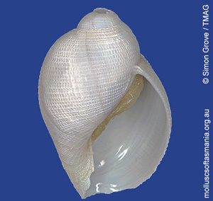 Iphinopsis TAS sp 01