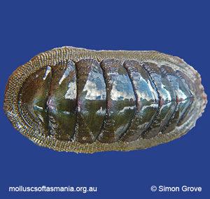 Ischnochiton australis