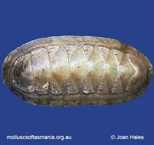 Ischnochiton cariosus