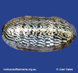 Ischnochiton elongatus