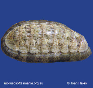 Ischnochiton lineolatus