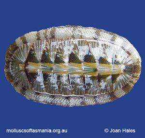 Ischnochiton smaragdinus