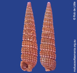 Isotriphora amethystina
