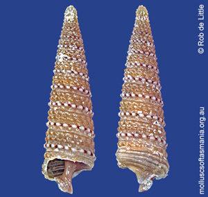 Isotriphora tasmanica