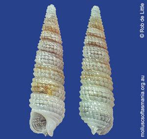 Isotriphora vercoi