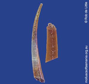 Laevidentaliidae unplaced TAS sp 01