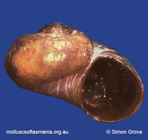 Laevilitorina bruniensis