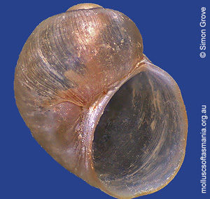 Laevilitorina kingensis