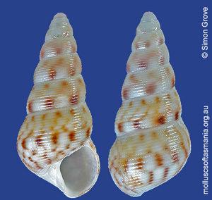 Leiopyrga octona