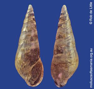 Leiostraca styliformis