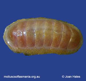 Leptochiton badius