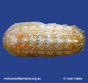 Leptochiton liratus