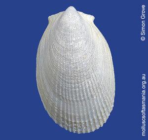 Limatula strangei