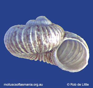 Liotella johnstoni