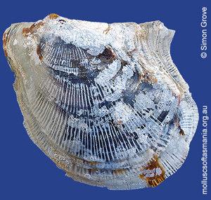 Electroma papilionacea
