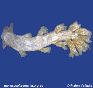 Embletonia gracilis