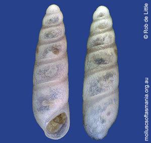 Epigrus cylindraceus