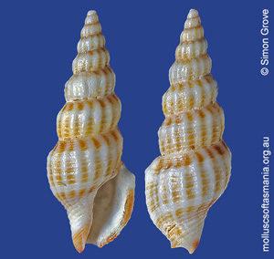 Etrema denseplicata