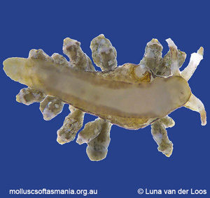 Eubranchus BURN sp 02