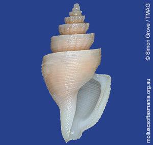 Eucithara pagoda