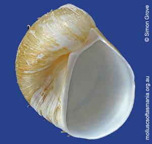 Eunaticina umbilicata