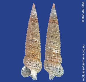Eutriphora armillata